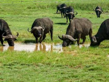 Cape Buffalo Hunting Tips